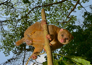 Potto (Perodicticus potto) male in tree, Togo. Captive.  -  Daniel  Heuclin