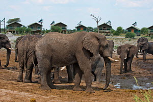 African elephants (Loxodonta africana) at waterhole at Elephant Sands Lodge, with visitor cabins in background,  Botswana.  -  Will Watson