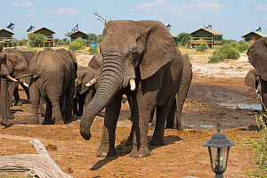 African elephants (Loxodonta africana) bull at the waterhole at Elephant Sands Lodge, with visitor cabins in backgroun,  Botswana.  -  Will Watson