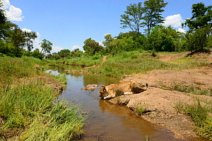 Young Lion (Panthera leo) drinking from a stream.  African Lion Rehabiliation and Release into the Wild Programme,Victoria Falls, Zimbabwe. Controlled conditions. - Will Watson