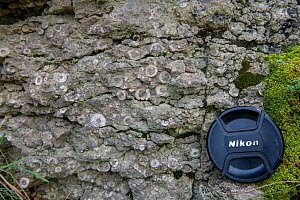 Carbonifeous (Dinantian) Crinoidal Limestone, with camera lens cap for scale, Halkyn, Wales. This limestone is wholly made up of fragments of fossil Crinoids.  -  Graham Eaton