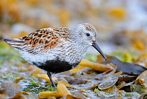 Dunlin (Calidris alpina) Vardo, Norway, May.  -  Markus Varesvuo