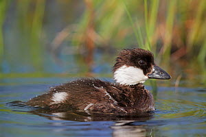 Goldeneye chick (Bucephala glangula) on water, Vaala, Finland, July. - Markus Varesvuo