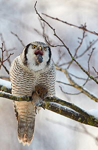 Hawk Owl (Surnia ulula) regurgitating pellet before eating vole prey, Helsinki, Finland, December. - Markus Varesvuo