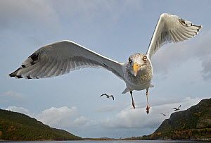Herring Gull (Larus argentatus) close up of juvenile in flight, Flatanger, Norway, October.  -  Markus Varesvuo