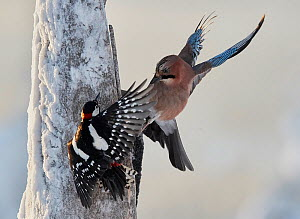 Jay (Garrulus glandarius) and Great Spotted woodpecker (Dendrocopus major) fighting, Kuusamo, Finland, January.  -  Markus Varesvuo