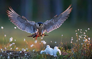Peregrine falcon (Falco peregrinus) adult landing at nest with chicks, Vaala, Finland, June. - Markus Varesvuo