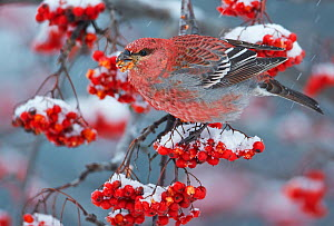 Pine Grosbeak male  (Pinicola enucleator)and traffic light Oulu, Finland, December - Markus Varesvuo