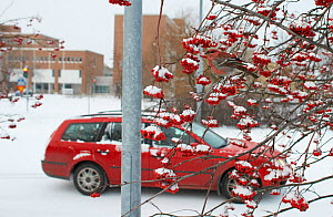 Pine grosbeak  (Pinicola enucleator)  male feeding on Rowan berries in snow, with car and buildings in the background. Oulu, Finland, December.  -  Markus Varesvuo