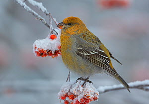 Pine grosbeak (Pinicola enucleator) young male, on rowan tree with snow covered berries, Liminka, Finland, January  -  Markus Varesvuo
