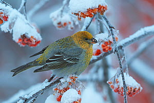 Pine grosbeak (Pinicola enucleator) young male on rowan tree with snow covered berries, Liminka, Finland, January  -  Markus Varesvuo