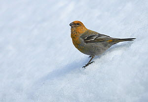 Pine grosbeak (Pinicola enucleator) young male in snow, Liminka, Finland, April.  -  Markus Varesvuo