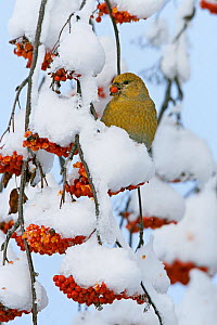 Pine grosbeak  (Pinicola enucleator) young male feeding on rowan berries covered in snow, Liminka, Finland. November  -  Markus Varesvuo