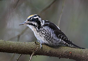 Three-toed woodpecker (Picoides tridactylus)  male, Helsinki, Finland, January. - Markus Varesvuo