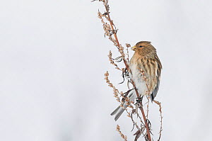 Twite (Carduelis flavirostris) perched on dead plant in snow, Vantaa, Finland, February.  -  Markus Varesvuo