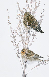 Twite (Carduelis flavirostris) two perched on flowers in snow, Vantaa, Finland, February.  -  Markus Varesvuo