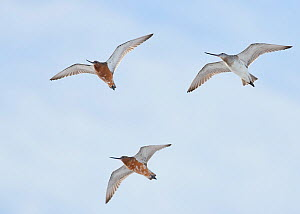 Bar-tailed godwit (Limosa lapponica) three in flight, Vardo, Norway, May.  -  Markus Varesvuo
