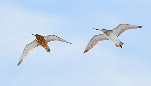 Bar-tailed godwit (Limosa lapponica) two in flight, Vardo, Norway, May.  -  Markus Varesvuo