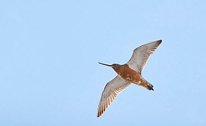 Bar-tailed godwit (Limosa lapponica) in flight, Vardo, Norway, May.  -  Markus Varesvuo