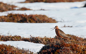 Bar-tailed Godwit male calling (Limosa lapponica) calling, Vardo, Norway, May.  -  Markus Varesvuo