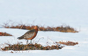 Bar-tailed godwit male (Limosa lapponica) in snow, Vardo, Norway, May.  -  Markus Varesvuo