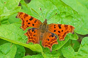 Comma  butterfly (Polygonia c-album)  Brockley Cemetery, Lewisham, London, England, UK, August.  -  Rod Williams
