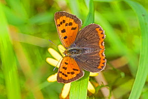 Small copper butterfly  (Lycaena phlaeas)  Brockley Cemetery, Lewisham, London, England, UK, August.  -  Rod Williams