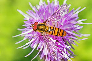 Marmalade Hoverfly  (Episyrphus balteatus) feeding on creeping thistle  Sutcliffe Park Nature Reserve, London, England, UK. September. - Rod Williams