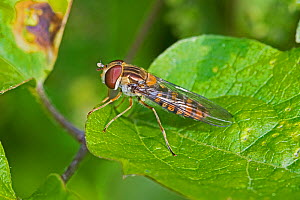Marmalade hoverfly  (Episyrphus balteatus)  Hutchinson's Bank, New Addington, London, England, UK. - Rod Williams