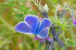 Common blue butterfly  (Polyommatus icarus) on tufted vetch, Sutcliffe Park Nature Reserve, Eltham, London, England, UK, July. - Rod Williams
