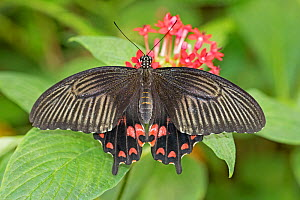 Scarlet mormon (Papilio rumanzovia) captive, occurs in Philippines.  -  Rod Williams