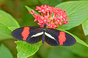 Red or Small postman (Heliconius erato) feeding on milkweed, Central and South America.  -  Rod Williams