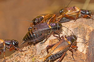 African field crickets (Gryllus bimaculatus) captive.  -  Rod Williams