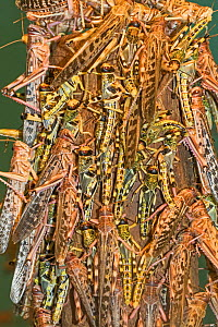 Desert Locusts  (Schistocerca gregaria) congregating on a post. Captive, occurs in Africa and Asia. - Rod Williams