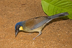 Blue-crowned laughing-thrush  (Dryonastes courtoisi)  digging in soil for grubs, from  Jiangxi Province, China. Critically Endangered,  Captive  -  Rod Williams
