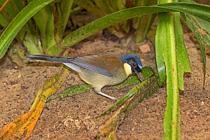 Blue-crowned laughing-thrush  (Dryonastes courtoisi) digging in soil for grubs, from  Jiangxi Province, China. Critically Endangered, Captive.  -  Rod Williams