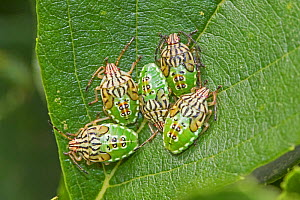 Parent shieldbugs  (Elasmucha grisea)  nymphs,  Sutcliffe Park Nature Reserve, Eltham, London, England, UK.  August 2017  -  Rod Williams