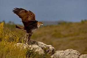 Bonelli's eagle (Aquila fasciata) taking off from a rock, Valencia, Spain, February  -  Loic Poidevin