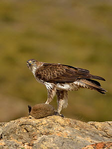 Bonelli's eagle (Aquila fasciata) with rabbit prey, Valencia, Spain, February  -  Loic Poidevin