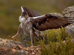 Bonellis eagle (Aquila fasciata) with rabbit prey, Valencia, Spain, February  -  Loic Poidevin