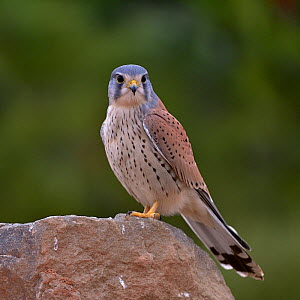 Common kestrel (Falco tinnunculus) male perched on a rock Valencia, Spain, February. - Loic Poidevin