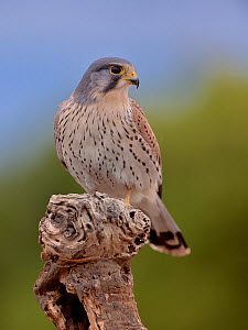 Common kestrel (Falco tinnunculus) male perched on a branch, Valencia, Spain, February. - Loic Poidevin
