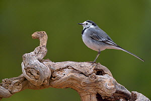 White wagtail (Motacilla alba) perched on a branch, Valencia, Spain, February  -  Loic Poidevin