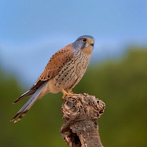 Common kestrel (Falco tinnunculus) male perched on a branch, Valencia, Spain, February - Loic Poidevin