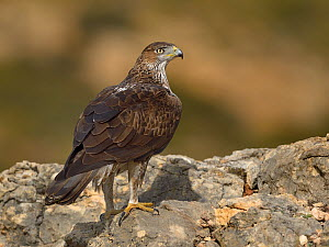 Bonellis' eagle (Aquila fasciata) perched on rock, Valencia, Spain, February  -  Loic Poidevin