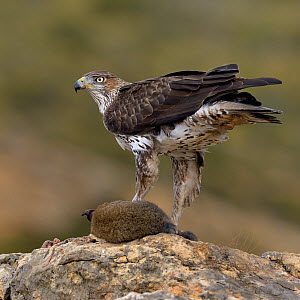 Bonellis' eagle (Aquila fasciata) with rabbit prey, Valencia, Spain, February  -  Loic Poidevin