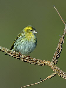Eurasian siskin (Carduelis spinus) perched on a branch, Vendee, France, February.  -  Loic Poidevin