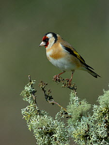 European goldfinch (Carduelis carduelis) perched on a branch, Vendee, France, February.  -  Loic Poidevin