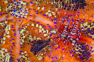 Pair of Coleman shrimps (Periclimenes colemani) living in a fire urchin (Asthenosoma varium). The female is the larger shrimp. Fire urchins are one of the largest and most venomous urchins, their brig... - Alex Mustard