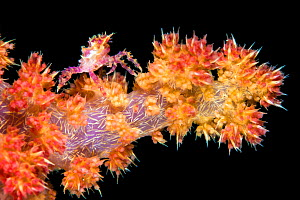 Soft coral crab (Hoplophrys oatesil) climbing out onto a branch of yellow and red soft coral (Dendronephthya sp.) at night. Anilao, Batangas, Luzon, Philippines. Verde Island Passages, Tropical West P... - Alex Mustard
